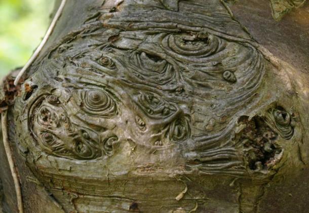 Legno di sorbo sono stati utilizzati per la scultura doghe rune e per i rituali.