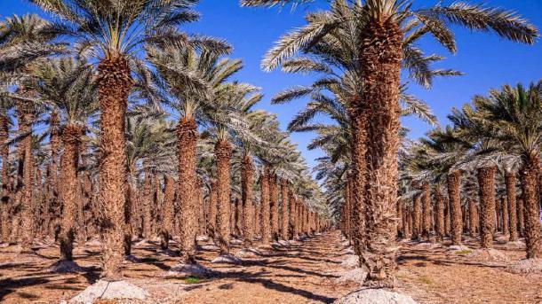 File delle palme su un'azienda agricola di albero vicino al mar Morto, Israele.  (Dmitry / Adobe Stock)