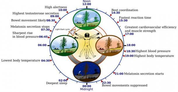 Vivere in profondità in una grotta senza luce naturale è simile a vivere nello spazio, in acque profonde o in ambienti minerari e tutti influenzano il nostro orologio biologico (mostrato qui) ei nostri ritmi circadiani del sonno.  (NoNameGYassineMrabetTalk corretto da Addicted04 / CC BY-SA 3.0)