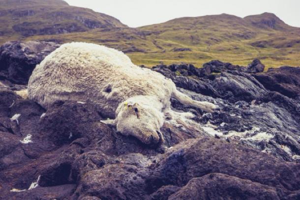 Le meurtre de moutons trouvés au Royaume-Uni a été imputé aux satanistes.  (Source: LoloStock / Adobe Stock)