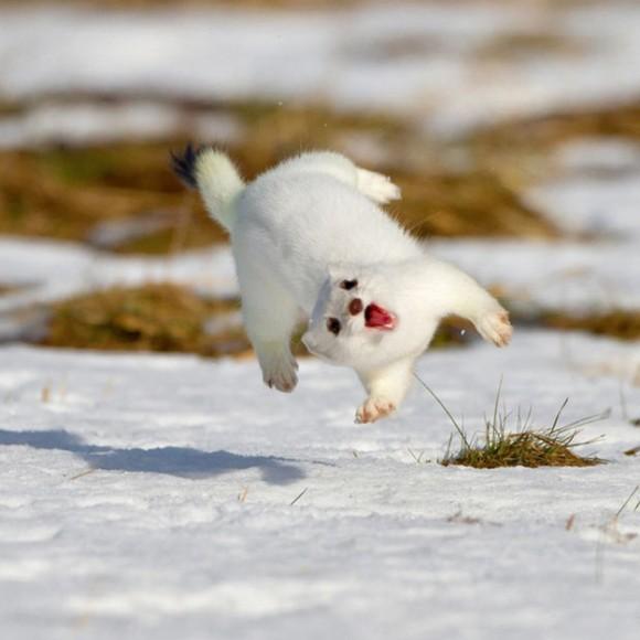 Arminho pula de alegria. Foto: newswhip.com