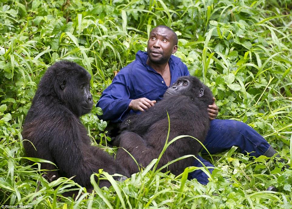 Andre Bauma é encarregado de cuidar dos gorilas orfãos. Foto: Roland Hoskins/DailyMail