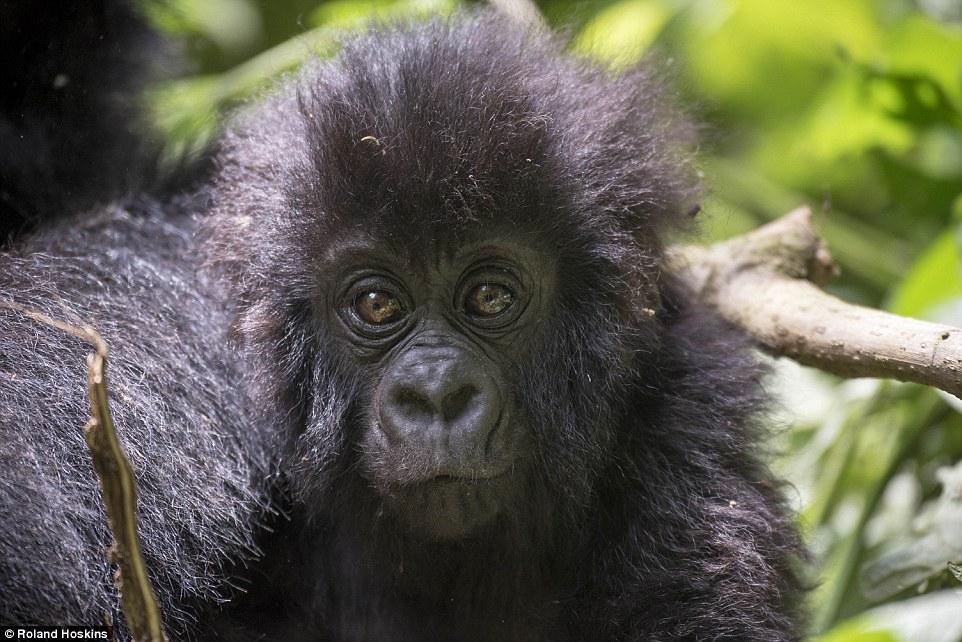 Os gorilas têm diversas semelhanças com os humanos. Foto: Roland Hoskins/DailyMail