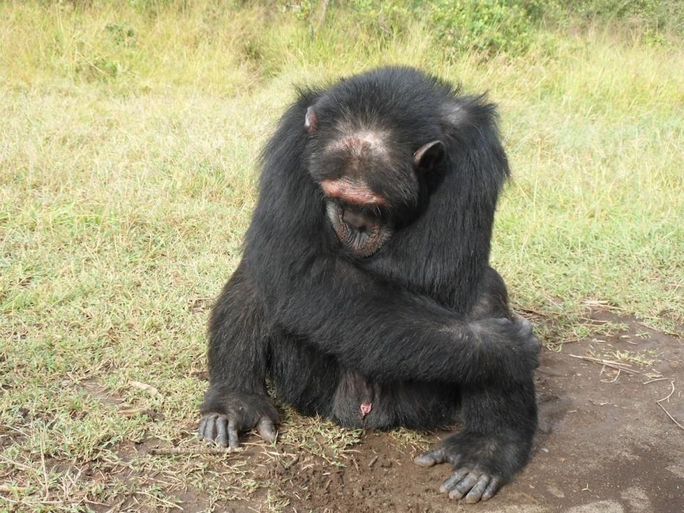 Poco, um chimpanzé que vive no Sweetwaters Chimpanzee Sanctuary no Quênia, era mantido em uma gaiola por cerca de uma década antes de ter sido resgatado. Ele agora sofre de distúrbio pós- traumático. Foto: Lopresti-Goodman