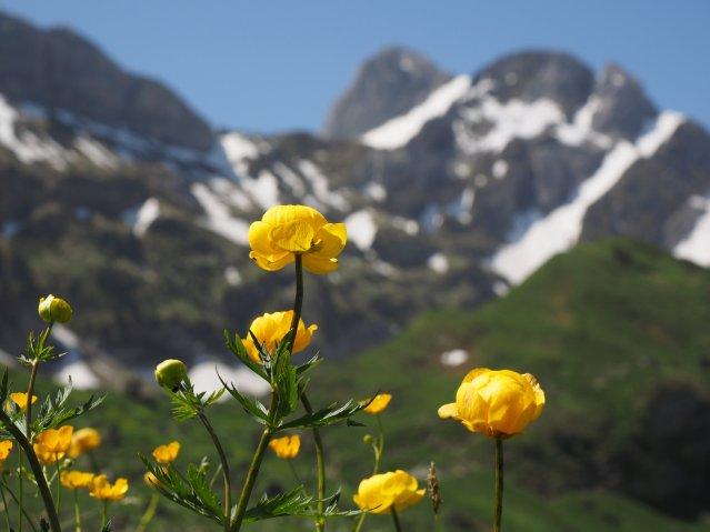 Imagem de flor alpina ao pé de montanha