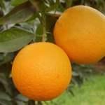 Oranges salustiana