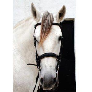 FEI dressage horses for sale-Batidor