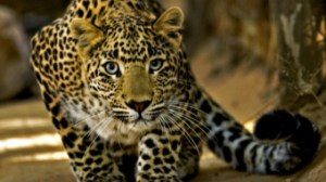 Leopard captured from house in Karnataka town