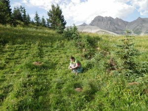 Measuring Silene vulgaris at my dissertation field site at the Col du Lautaret, France