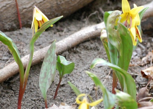 trout lilies in bloom