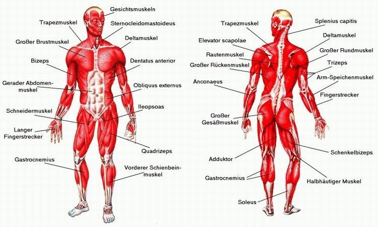 6.5 Die Muskulatur | Bewegungsapparat