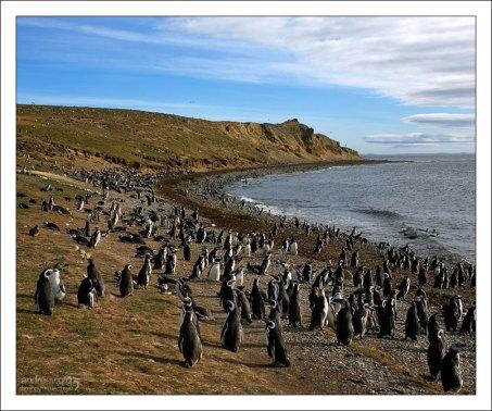 Колония Магеллановых пингвинов.