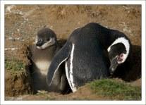 Пингвиниха со своим пингвиненком в норе.