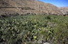 Плантация грушевидных кактусов.