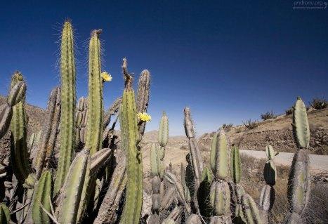 Колючие заросли кактусов-факелов.