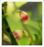 Нежные бутоны орхидеи рода Platystele.