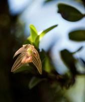 Маленькая полосатая орхидея-акрония.