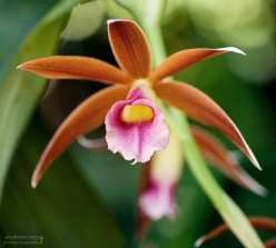 Большая Африканская орхидея. (Phaius tankervilliae).