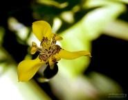 Тримезия (Trimezia martinicensis) - близкая родственница ирисов.