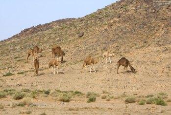 Стадо диких верблюдов.