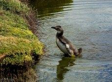 Молодой пингвин, косящий под утку.