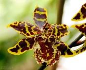 Пятнистая орхидея Colmanara Wildcat.