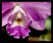 Человечек в капюшоне. Орхидея вида Каттлея (Cattleya).