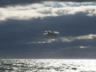 Чайка над сверкающими водами залива Seño Otway.