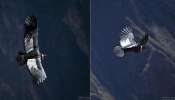 Кондоры держат свои крылья в горизонтальной плоскости, а концы первостепенных маховых перьев растопыренными и слегка изогнутыми вверх.