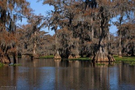 Кипарисы вида Bald Cypress (Swamp Cypress; Taxodium distichum) на озере Каддо.