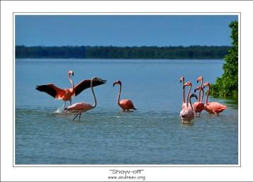 Хвастун. Один из группы молодых фламинго выпендривается перед другими.