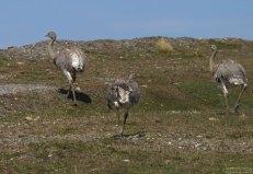 Чилийские страусы нанду.