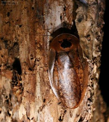 Огромный, размером с ладонь, летающий таракан, с интересным рисунком на голове.