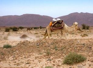 Верблюды принимают пыльевые ванны.