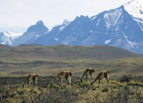 Гуанако - южноамериканские верблюды.