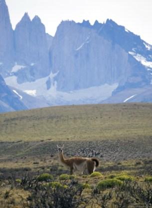 Самец гуанако на фоне Торрес-дель-Пайне.