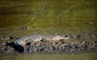 """Крокодил на курорте """"Золотые грязи"""" :) Берег реки Rio de los Crocodiles. Национальный парк Palo Verde."""