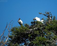 Древесные аисты и бакланы в гнездах на Птичьем острове.