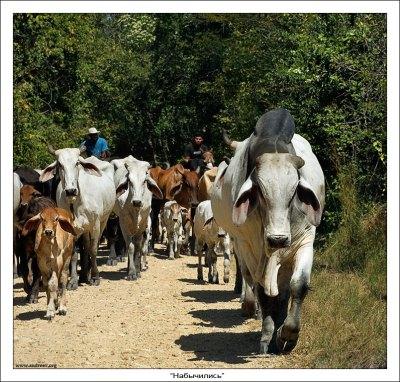 Сабаньерос перегоняют стадо брахманов на другое пастбище. Коровки хоть и травоядные, но стоять на пути у 1500-киллограммового вожака – занятие не для слабонервных. Раскатает и не поморщится.