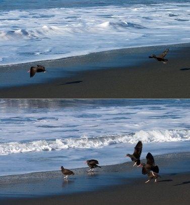 Черные устрицеловы, вылетающие на охоту.