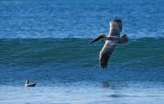 Бурый пеликан (Pelecanus occidentalis), парящий над волной.