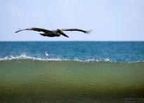 Бурый пеликан в слоистом экстерьере.