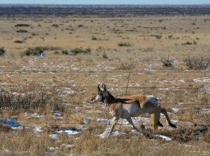 Вилорог (American pronghorn) - второе в мире по скорости бега животное.