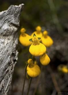 Кальцеолярия: цветочек-мешочек (Calceolaria biflora).