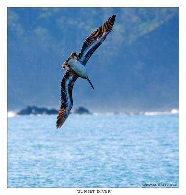 «Закатный Ныряльщик» Заходящий в пике пеликан во время вечерней охоты.