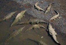 Семейство Американских крокодилов (Crocodylus acutus) на отмели реки Taracoles. Национальный парк Карара.