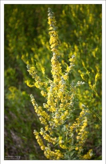 Чемерица Лобеля (Veratrum lobelianum) на придорожном лугу..
