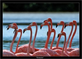 Фламинго (Phoenicopterus ruber), похожие на ряд резиновых клюшек.