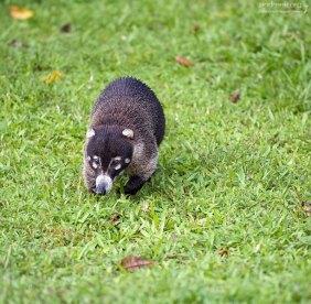 Носухи едят все подряд, что найдут, а ходят, ступая на всю ступню, как люди или медведи.