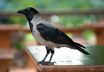 Когтистая ворона на столике в кафе в Нижнем парке Петергофа.